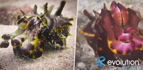 Flamboyant Cuttlefish evolution diving resort malapascua