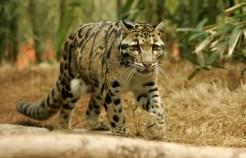 clouded-leopard-Christian-Sperka1