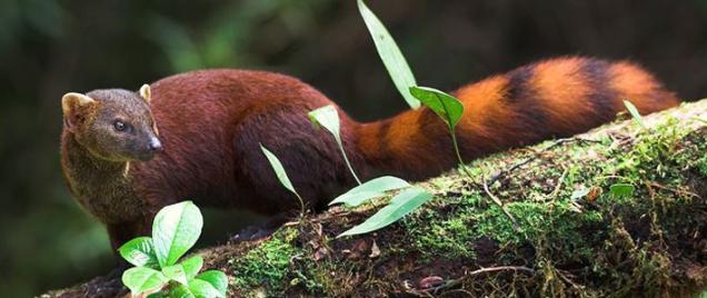 coastal-ring-tailed-mongoose-710x300