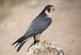 Falco_peregrinus_-_01