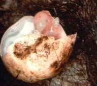 Echidna egg hatching