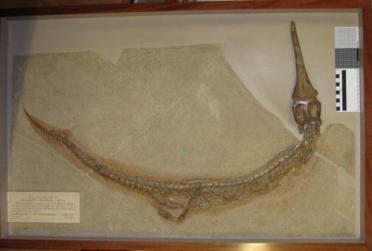 Rhacheosaurus