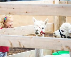 Girl and two llamas