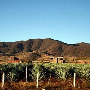 maguey_field