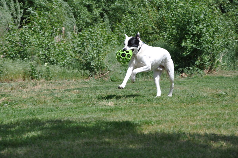 Ace chasing a ball playing fetch in a park while on our full time RV adventure.