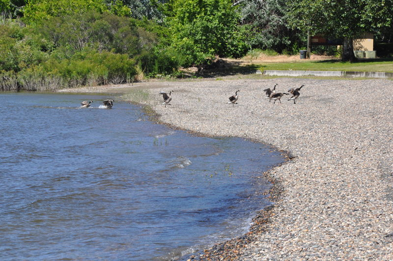 The beach with geese on it, Maryhill State park WA state on our full time RV adventure.