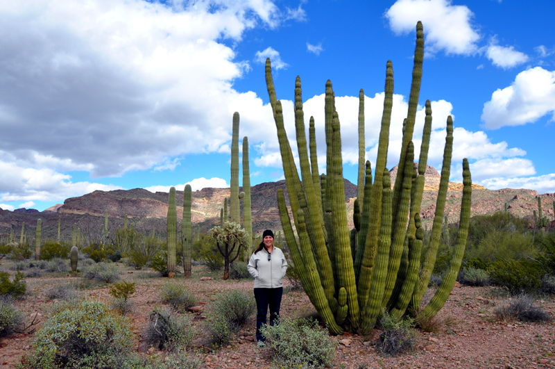 Organ Pipe Cactus in the Organ Pipe National Monument on a tour through the park.