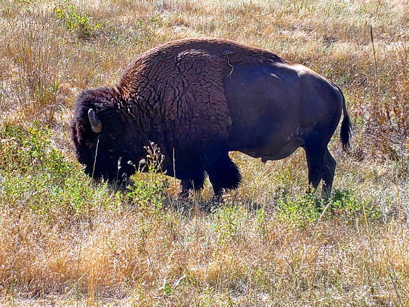 A buffalo near the road at the National Bison Range north of Missoula, MT.