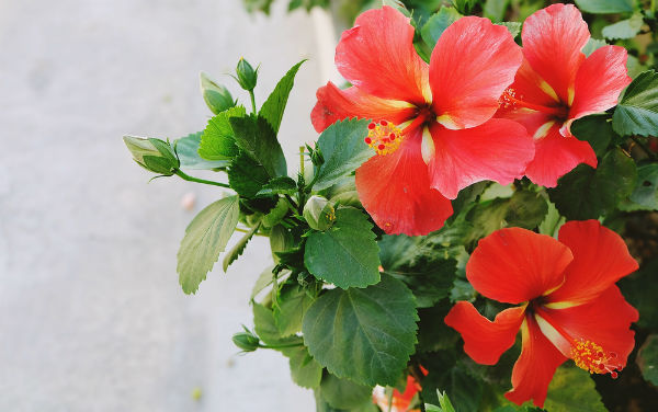 Flowers Habiscus