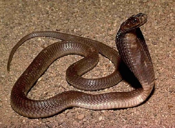 Naja-philippinensis-ფილიპინური-კობრა