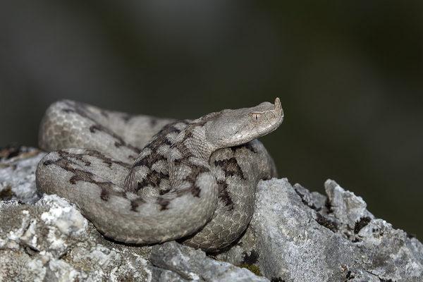 Vipera-ammodytes-ცხვირრქოსანი-გველგესლა