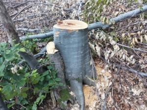 Липсата на контролна горска марка в основата на дървото говори за незаконна сеч. Фото: Александър Дунчев / WWF