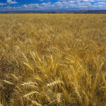 Wheat Field Against Blue Sky