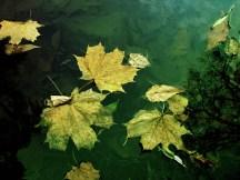 liście na wodzie