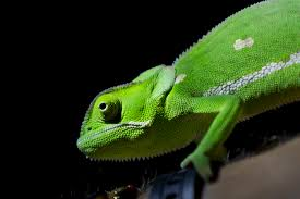 C:\Users\HP CORE I3\Pictures\CHAMELEON.jpg