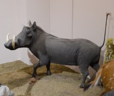African Warthog (Phacochoerus africanus)