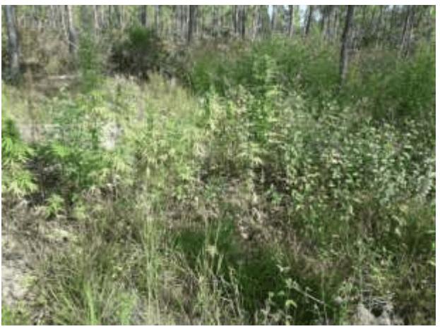 Marijuana field discovered in Abaco