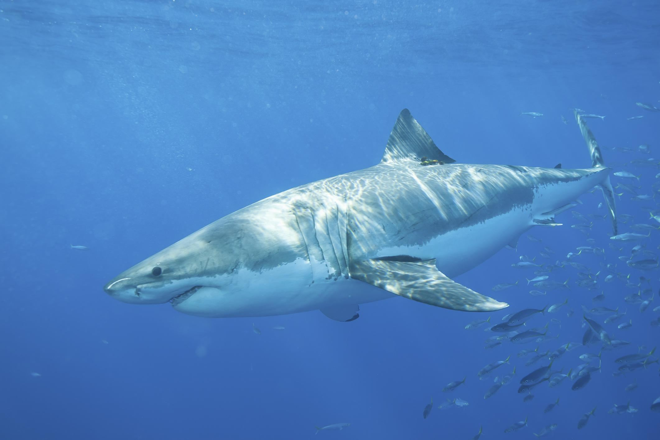 New research in The Bahamas on shark attacks