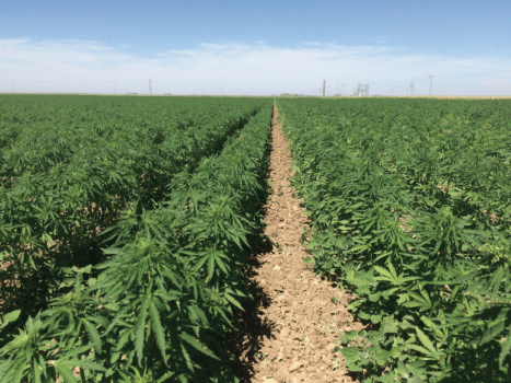CULTIVATE: Agriculture minister to lobby for local production of industrial hemp, CBD