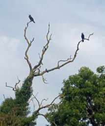 cormorantperch