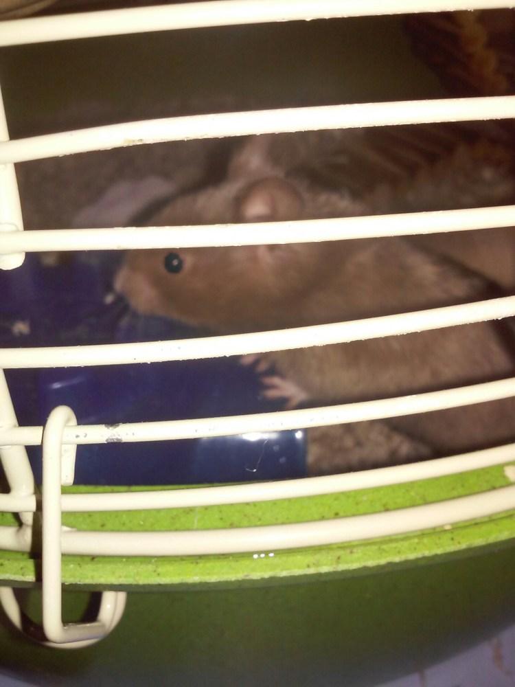 New Hamster!