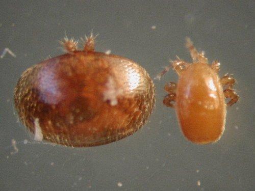 Tropilaelaps Mite, ένας μεγάλος κίνδυνος για τις μέλισσες μας.