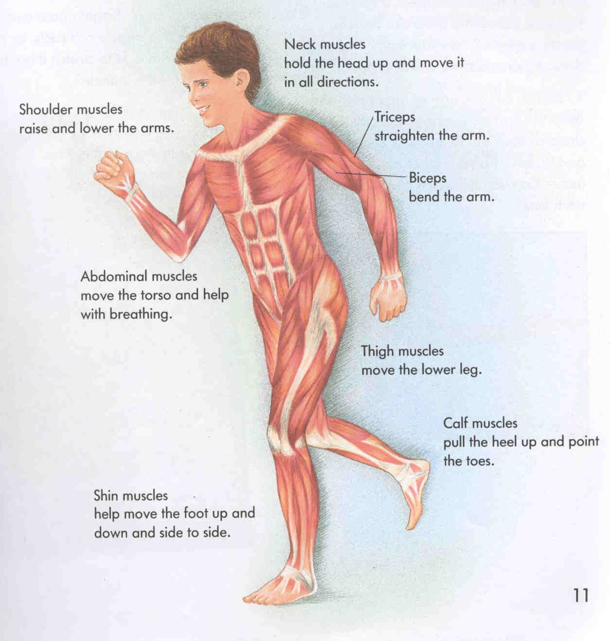 Muscle Worksheets For Kids