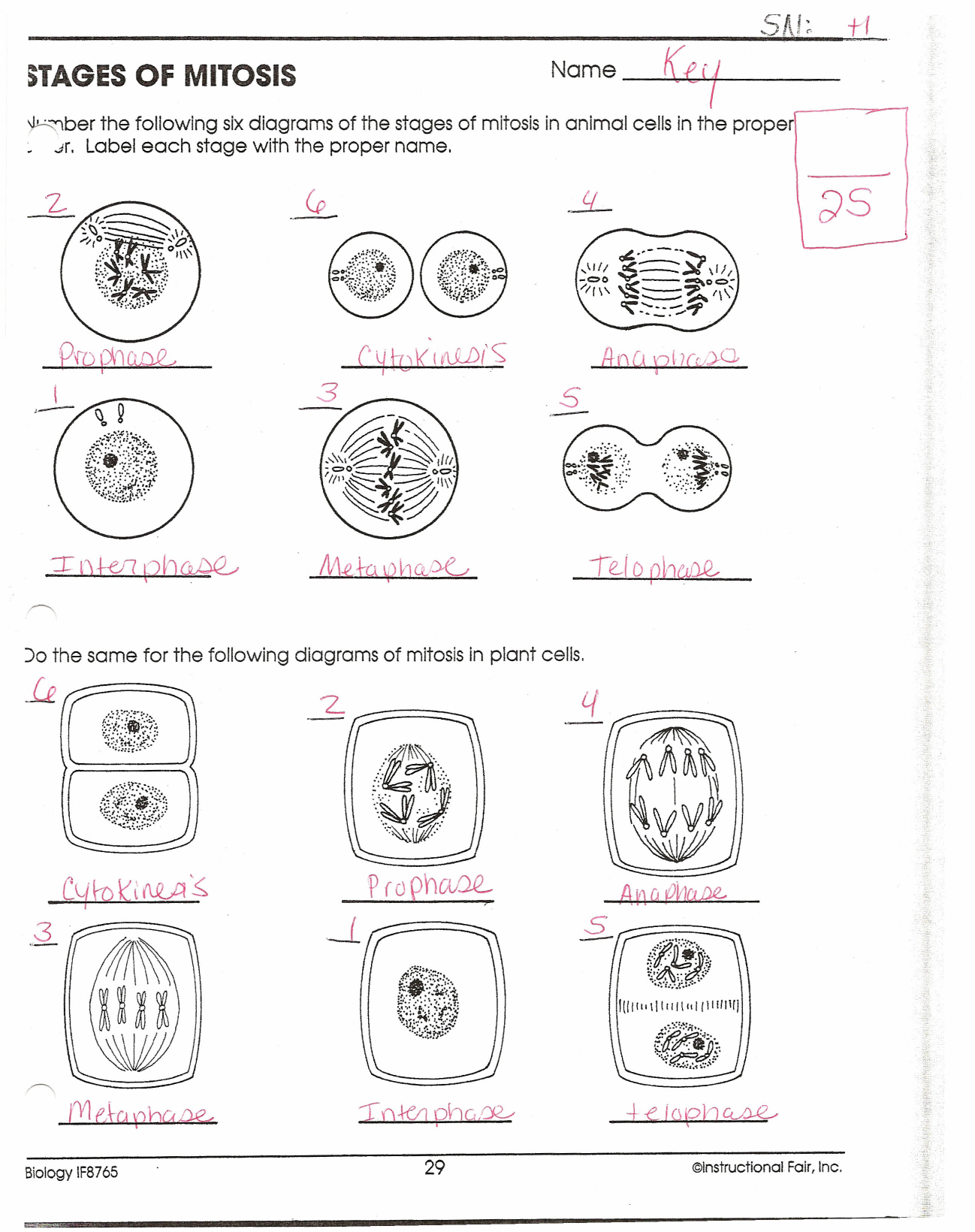 Stages Of Mitosis For Cell Cycle Worksheet Answers Biology
