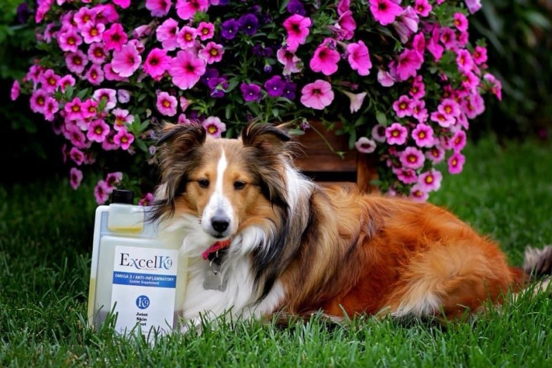 canine Brown and white sheltie with pink flowers