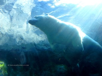 Polar Bear 3530 Copyright Shelagh Donnelly