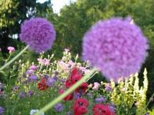 Van Dusen allium and poppies June 2009 SLR P1011556