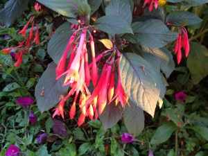 Fuschias Fall 2013