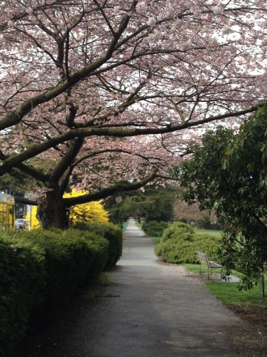 Kits Blossoms Copyright Shelagh Donnelly