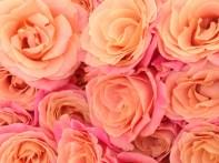 Paris Roses Copyright Shelagh Donnelly