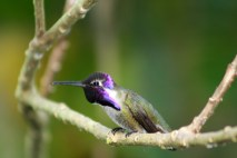 Hummingbird 3631 Copyright Shelagh Donnelly