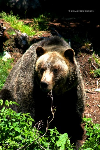 Grizzly 5010 Copyright Shelagh Donnelly