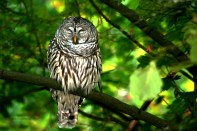Barred Owl 7391Copyright Shelagh Donnelly