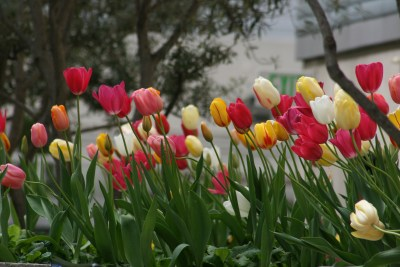 San Fran Tulips Copyright Shelagh Donnelly