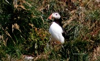 Puffin 17-3996 Copyright Shelagh Donnelly