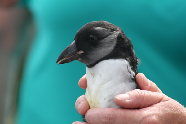 Baby Puffin 17-7118 Copyright Shelagh Donnelly