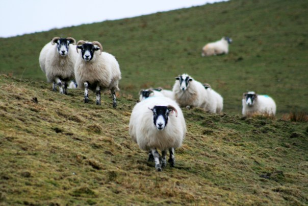 18_9359 Armadale_Sheep_Isle_Of_Skye Copyright Shelagh Donnelly