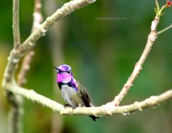 Hummingbird 2015-02-3630 Copyright Shelagh Donnelly