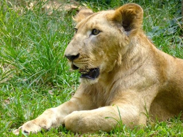 Young Lion @ Zoo Negara
