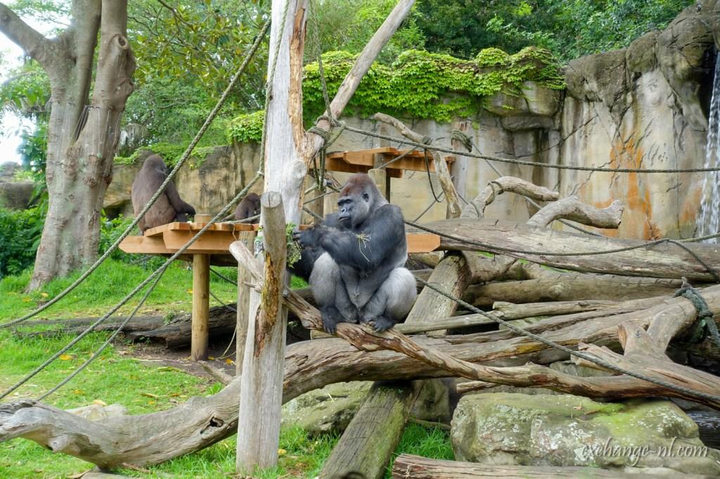 悉尼塔龍加動物園大猩猩 Gorilla in Sydney Taronga Zoo