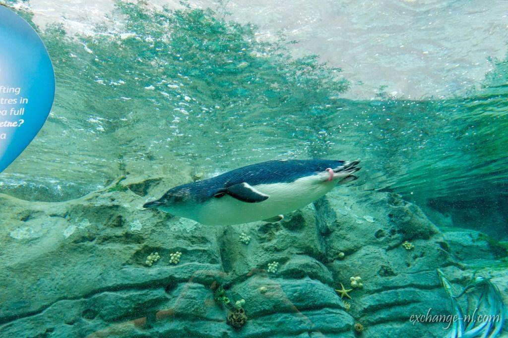 悉尼塔龍加動物園神仙企鵝(小藍企鵝)Little penguin in Sydney Taronga Zoo