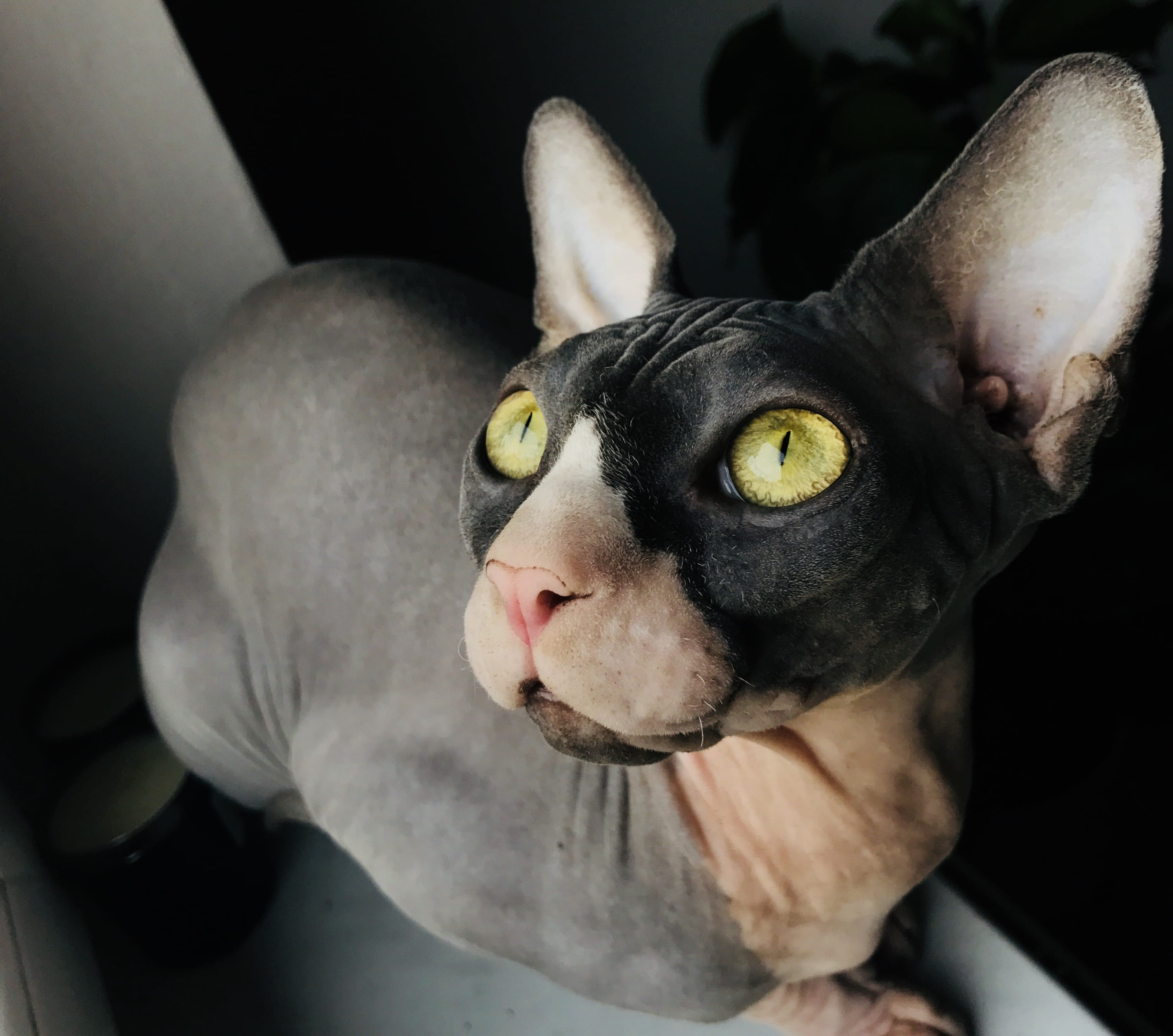 8 Different Sphynx Cat Colors With Pictures