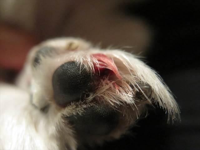 犬の爪が折れて出血