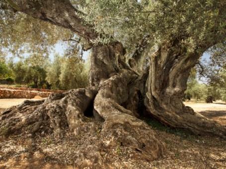 Excursión desde Castellón a la Ruta del olivo de San Mateo y traiguera