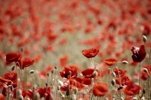Lest We Forget, In Flanders Fields By John McCrae