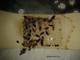 Trampa captura cucarachas